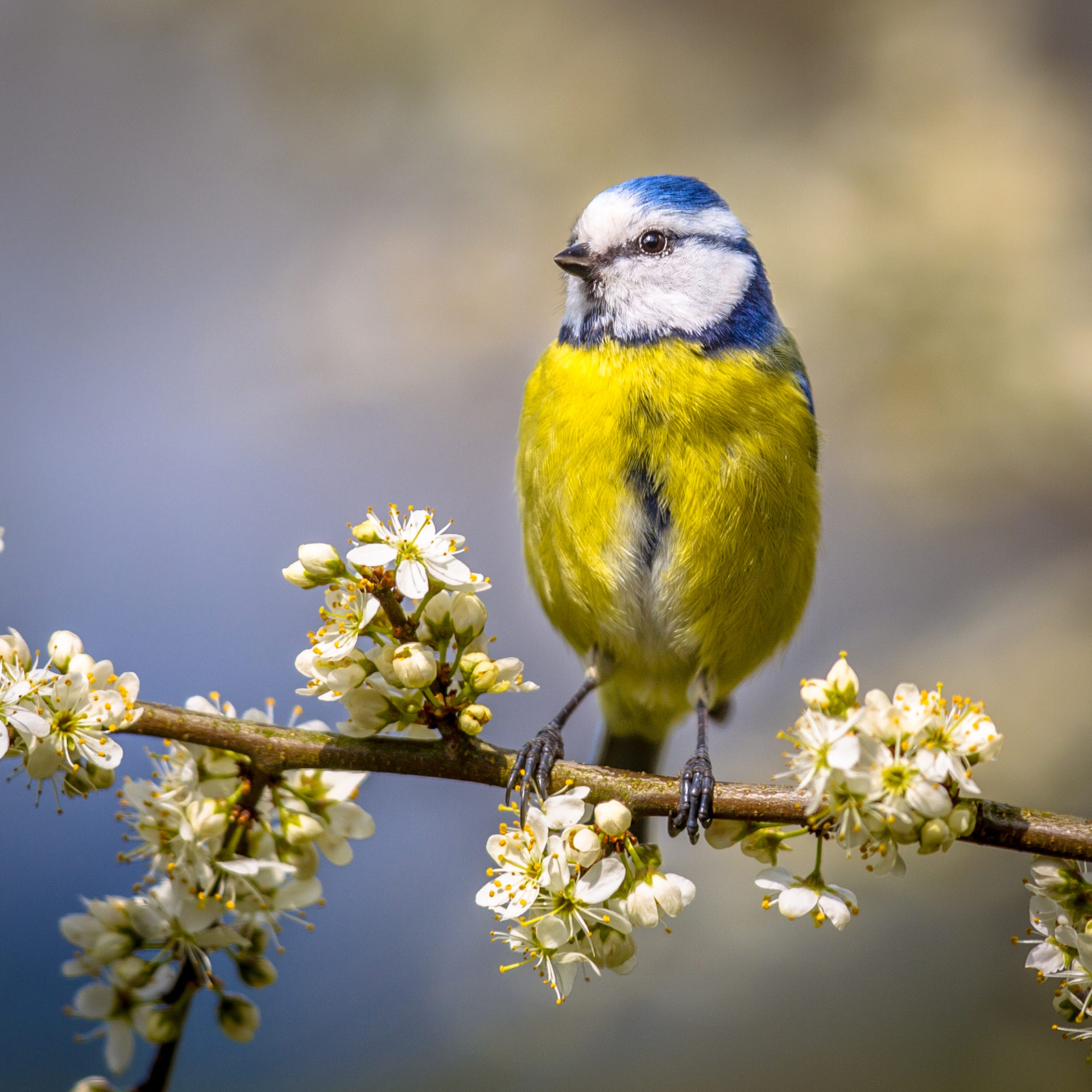 Bluetit on a hawthorn branch